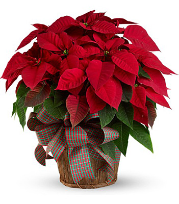 Large Red Poinsettia from Backstreet Florist in Harrisburg, AR and Wynne, AR