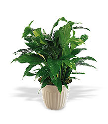 Spathiphyllum Plant from Backstreet Florist in Harrisburg, AR and Wynne, AR